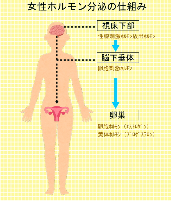 女性ホルモンは脳からの刺激で分泌されます